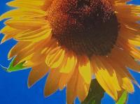 GK Sonnenblume